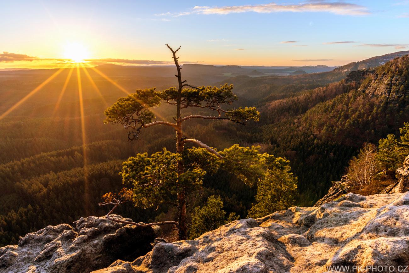 Borovice při západu slunce